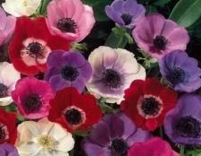 Анемона - квітка, який прикрасить сад