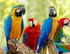Ара - папуга c зеленими крилами. Види і зміст в домашніх умовах