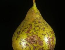 Хвороби груш і їх лікування