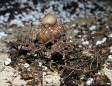 Цикламен з насіння зможуть виростити тільки терплячі