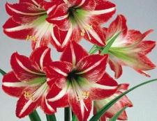 Квітка амариліс - особливості розмноження і догляду