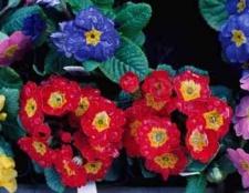 Квітка примула - ключики в країну прекрасних квітів
