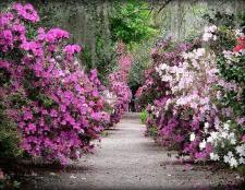 Квіти магнолії: посадка і догляд