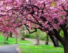 Декоративне дерево: концепції оформлення присадибної території. Види дерев і чагарників