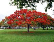Вогняне дерево. Декоративні дерева