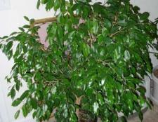 Фікус бенджаміна - ідеальне рослина для будь-якого інтер'єру
