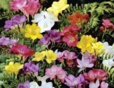 Фрезія - квітка, що долає своїм ароматом