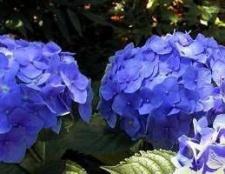 Гортензія садова: особливості посадки і догляду за рослиною