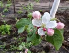 Яблуня медунка: опис сорту, фото, відгуки