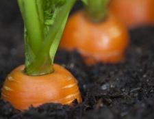 Як зберігати моркву в підвалі, погребі, квартирі і в холодильнику? Як зберегти моркву на зиму?