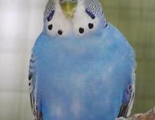 Як визначити стать папуги хвилястого: основні методи