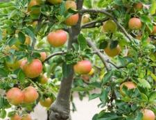 Як прищепити яблуню навесні, влітку чи восени? Правильна щеплення яблунь