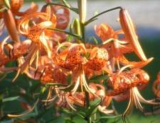 Як садити лілії восени або навесні