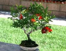 Як виростити гранатове дерево вдома?