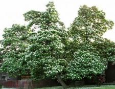 Катальпа (дерево): фото, опис. Посадка і догляд