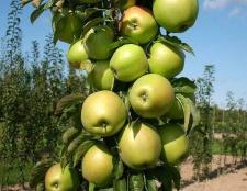 Колоновидна яблуня: сорти, вирощування, догляд, відгуки та фото