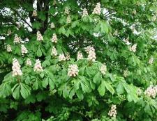 Кінський каштан: застосування в медицині квітів і плодів