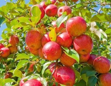 Обрізка яблунь влітку. Особливості догляду за яблунею