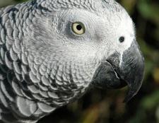 Папуги жако: опис, характер, зміст і догляд в домашніх умовах