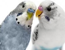 Породи папуг. Породи домашніх папуг - фото