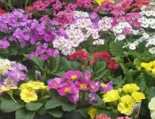 Примула садова - перші весняні радість в саду