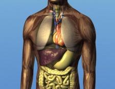 Розташування внутрішніх органів людини. Загальна будова людського тіла