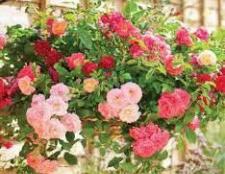 Троянди в саду: догляд, підживлення
