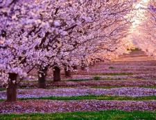 Сакура - дерево декоративне. Опис
