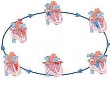 Серцевий цикл: таблиця. Серцевий цикл і його фази