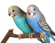 Скільки років живуть папуги хвилясті? Тривалість життя хвилястих папуг