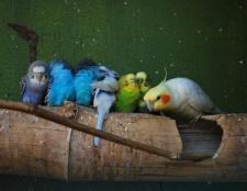 Скільки живуть папуги? Папуги кореллі: скільки живуть