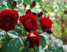 Догляд за трояндами влітку в саду. Підгодівля, розмноження, обрізка