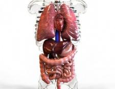 Внутрішні органи людини: будова, опис